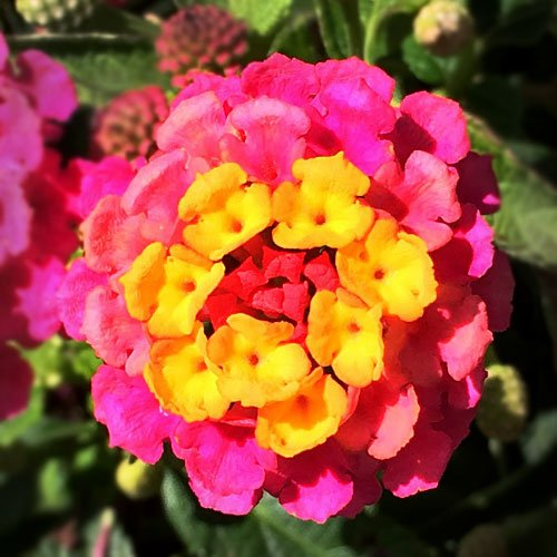 yellow and pink flower