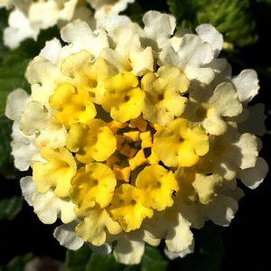 light-yellow flower