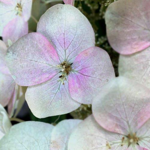 pink-winter flower