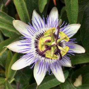 white-purple flower
