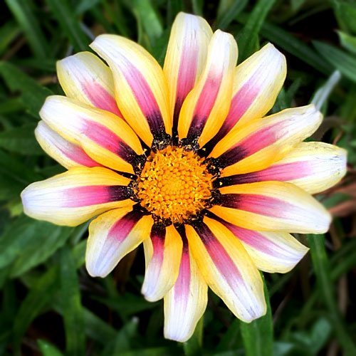 white stripped flower